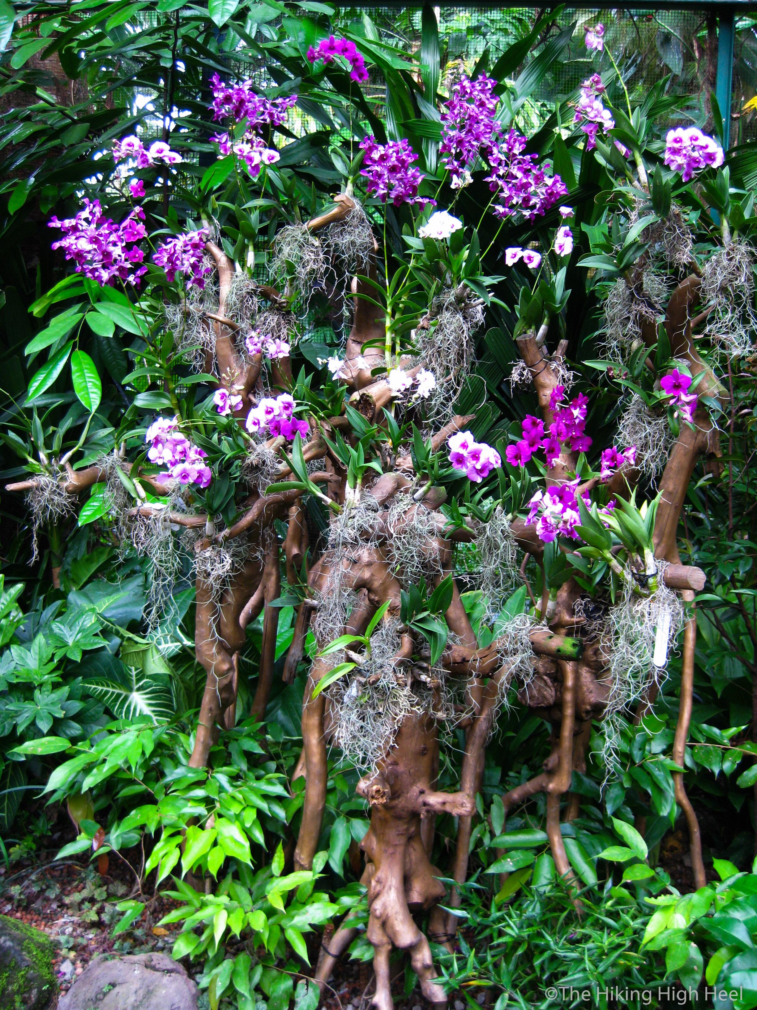 orchidmania national orchid garden singapore. Black Bedroom Furniture Sets. Home Design Ideas